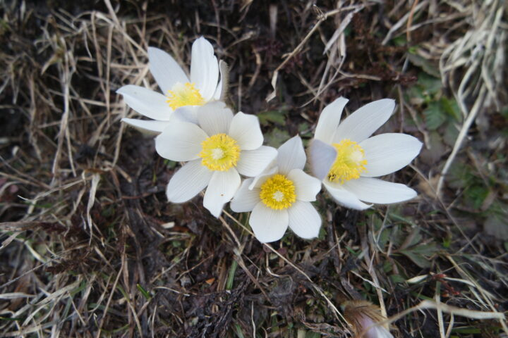 Pasque flower 18 04 2020