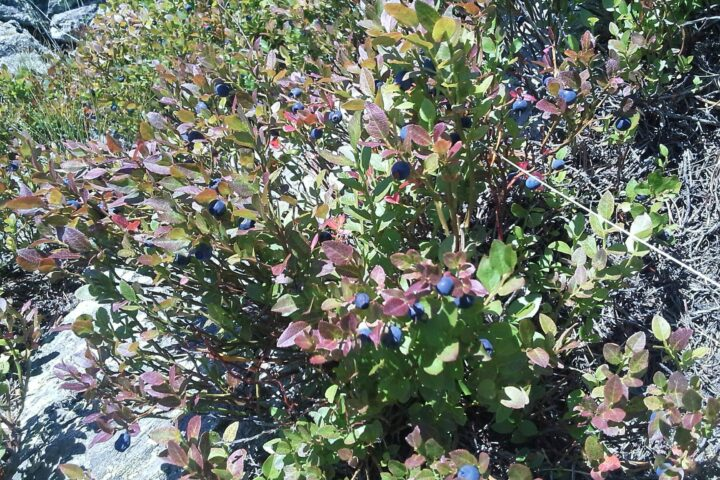 The blueberries are ripe 18 08 2019