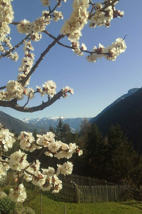 apricot blossom on April 15, 2020